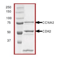 SDS-PAGE - CDK2 + Cyclin A2 protein (Active) (ab51407)