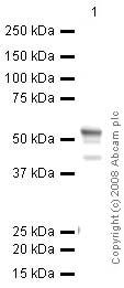 Western blot - FOXG1 antibody (ab51774)