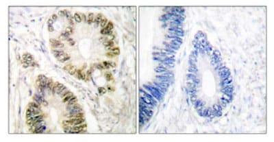 Anti-Cyclin E1 (phospho T395) antibody (ab52195)