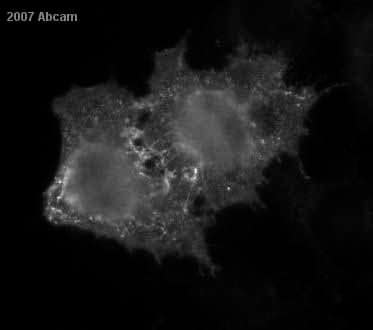 Immunocytochemistry/ Immunofluorescence - CD13 antibody [WM15] (FITC) (ab52461)