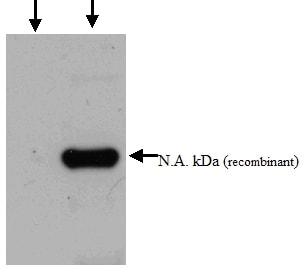 Western blot - Alpha 1 Acid Glycoprotein antibody (ab52691)