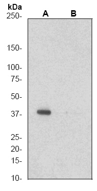Western blot - CrkL antibody [EP270Y] (ab52908)