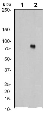 Western blot - Ezrin (phospho Y353) antibody [EP925Y] (ab52916)
