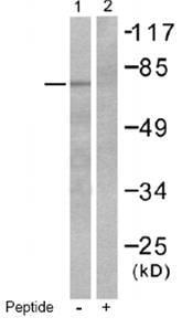 Western blot - anti-p63 antibody (ab53039)