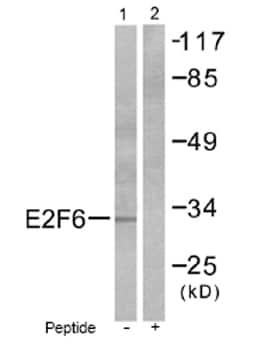 Western blot - E2F6 antibody (ab53061)