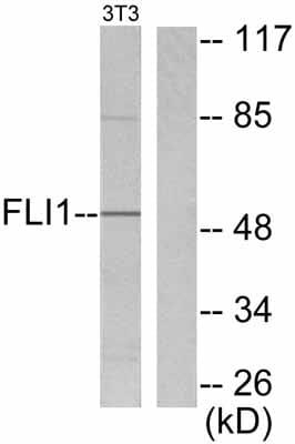 Western blot - FLI1 antibody (ab53077)