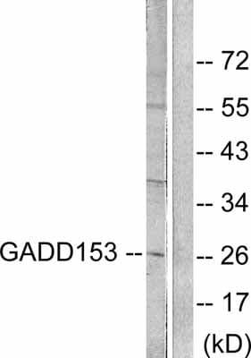 Western blot - GADD153 antibody (ab53081)