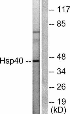 Western blot - Hsp40 antibody (ab53108)
