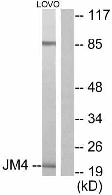 Western blot - JM4 antibody (ab53113)