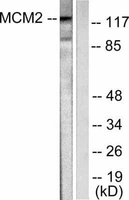 Western blot - MCM2 antibody (ab53136)