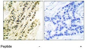 Immunohistochemistry (Paraffin-embedded sections) - Serum Response Factor SRF antibody (ab53147)