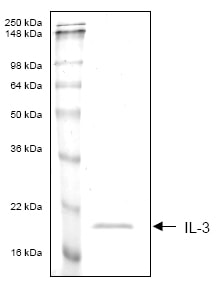 SDS-PAGE - IL3 protein (His tag) (ab53339)
