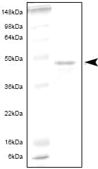 SDS-PAGE - IL6R protein (ab53370)