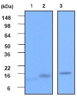 Western blot - VAMP2 antibody [clone 3E5] (ab53407)