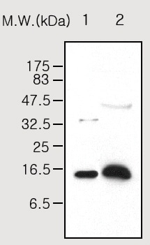 Western blot - Prealbumin antibody [10E1] (ab53422)