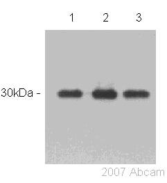 Western blot - ASF1 alpha/beta antibody (ab53608)
