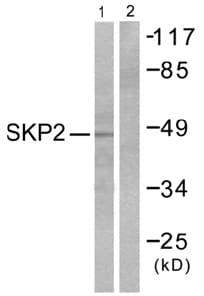 Western blot - SKP2 antibody (ab53722)