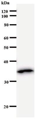 Western blot - DUSP4 antibody [2295E1a] (ab53753)