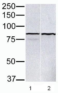 Western blot - PARP9 antibody (ab53796)