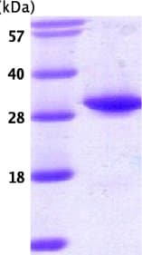 SDS-PAGE - TPMT protein (ab54224)