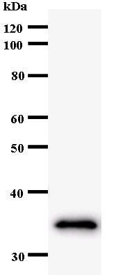 Western blot - GMEB2 antibody [364C1a] (ab54281)