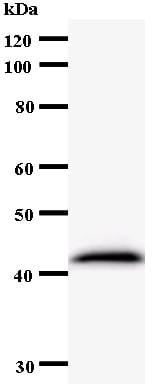 Western blot - Exosome Component 9 antibody [2337C3a] (ab54283)