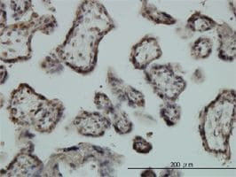 Immunohistochemistry (Formalin/PFA-fixed paraffin-embedded sections) - Egr1 antibody (ab54966)