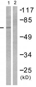 Western blot - SHC antibody (ab55354)