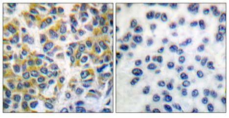 Immunohistochemistry (Paraffin-embedded sections) - SHP1 antibody (ab55356)