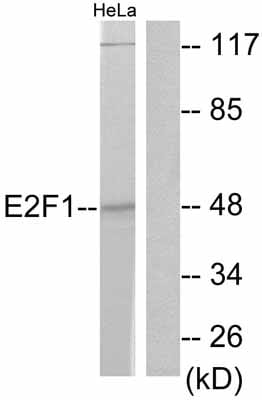 Western blot - E2F1 antibody (ab55398)