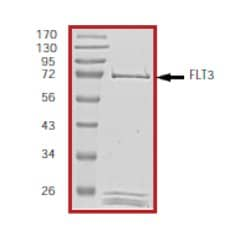 SDS-PAGE - Flt3 / CD135 protein (Active) (ab55709)