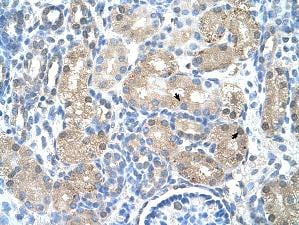 Immunohistochemistry (Formalin/PFA-fixed paraffin-embedded sections) - Anti-UROD antibody (ab55962)