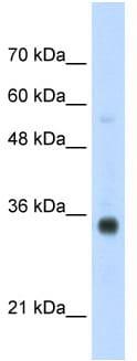 Western blot - HOXB4 antibody (ab56049)