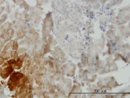 IHC-P - BMP11 antibody (ab56644)