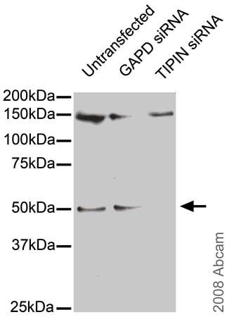 Western blot - TIPIN antibody (ab57488)