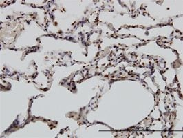 IHC-P - YY1 antibody (ab58066)
