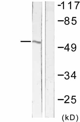 Western blot - Anti-Fas antibody (ab58394)