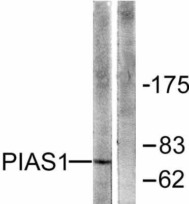 Western blot - PIAS1 antibody (ab58403)