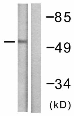 Western blot - PAIAS gamma antibody (ab58416)