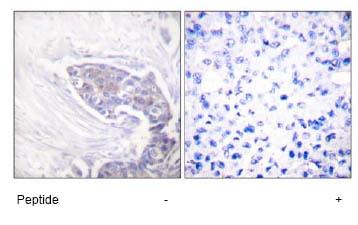 Immunohistochemistry - TXNRD2 antibody (ab58445)