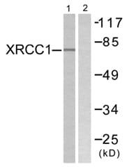 Western blot - XRCC1 antibody (ab58465)