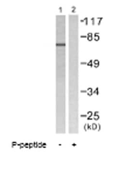 Western blot - Lamin A + C (phospho S392) antibody (ab58528)