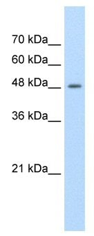 Western blot - LOC400451 antibody (ab58602)