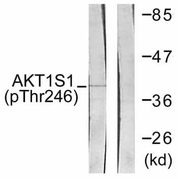 Western blot - AKT1 (phospho T246) antibody (ab59171)