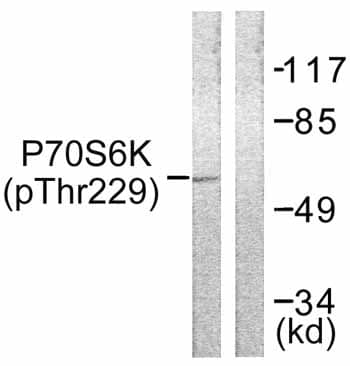 Western blot - Anti-P70 S6 Kinase alpha (phospho T229) antibody (ab59208)