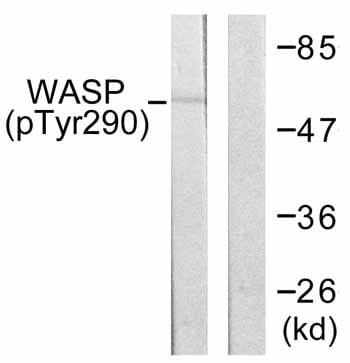 Western blot - WASP  (phospho Y290) antibody (ab59278)