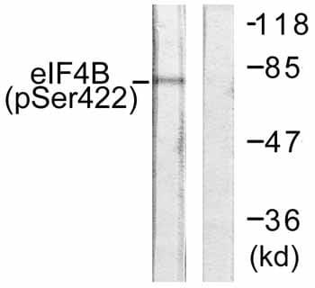 Western blot - eIF4B (phospho S422) antibody (ab59300)