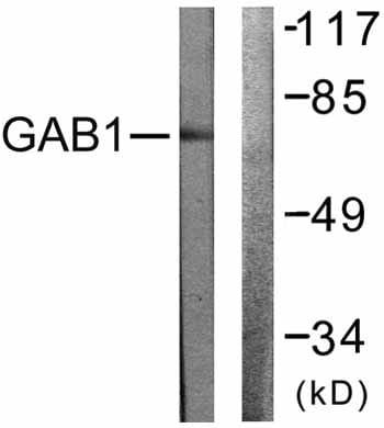 Western blot - GAB1 antibody (ab59362)