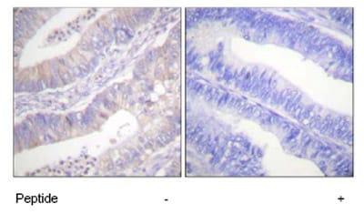 Immunohistochemistry (Paraffin-embedded sections) - CFTR antibody (ab59394)