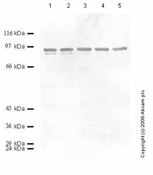 Western blot - Neurotrypsin antibody - Catalytic domain (ab59454)